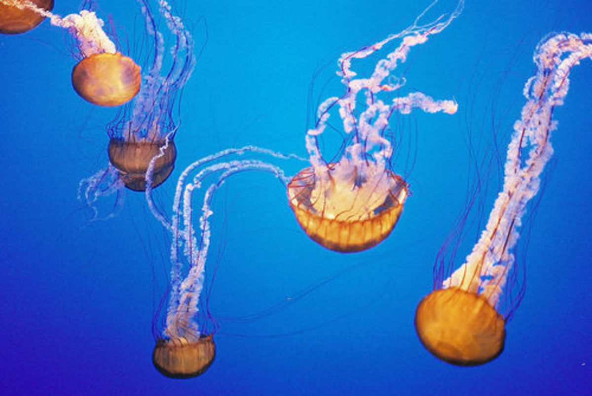 Sea Nettle Jellyfish are one species of jellyfish, in which its tentacles can produce a very painful, dangerous sting.