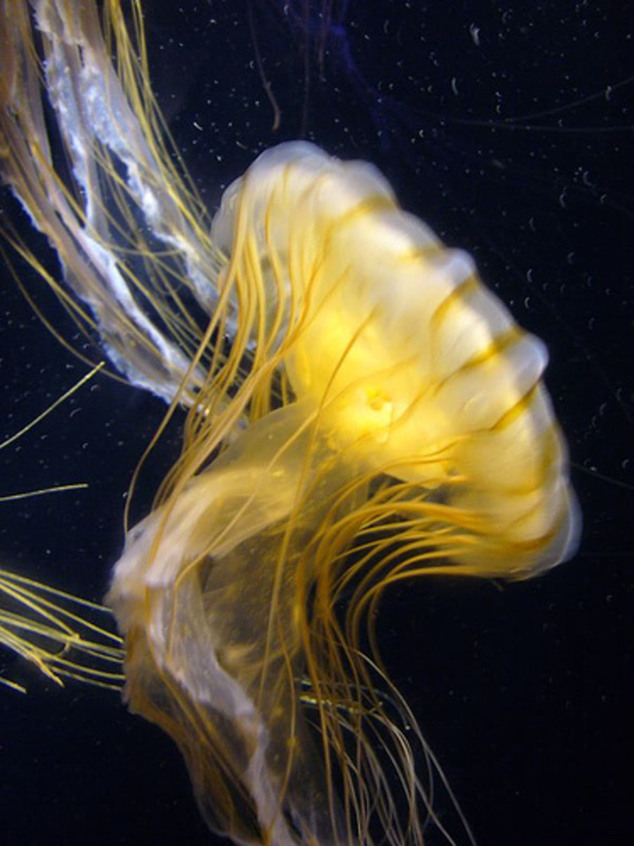 In this photo, a jellyfish, belonging to the Cubozoan class of jellies, swims quietly and without effort through a dark sea. The dangerous and deadly Box Jellyfish, or Sea Wasp also belongs to this same class of jellies.