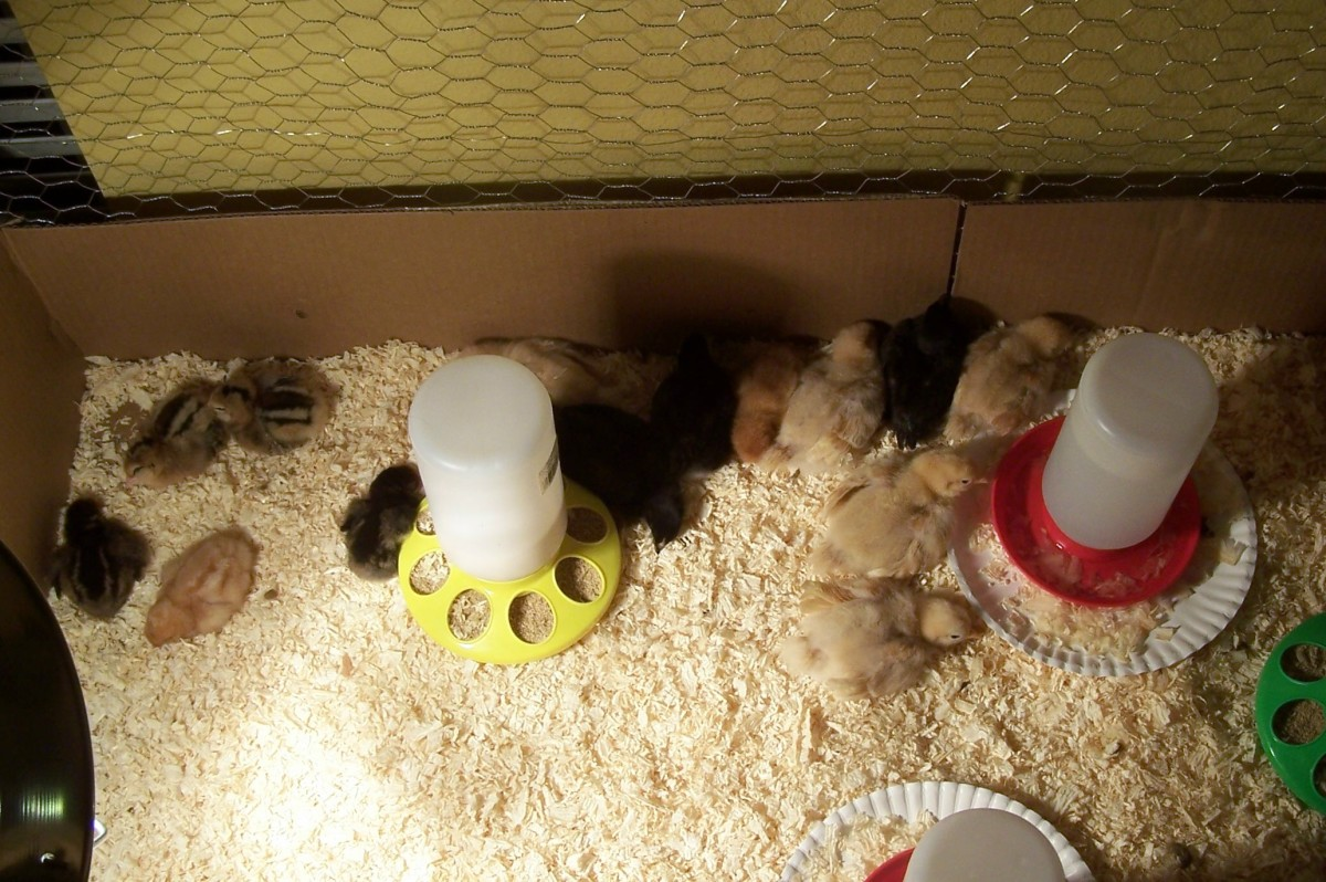 Our chicks in their first home--the brooder
