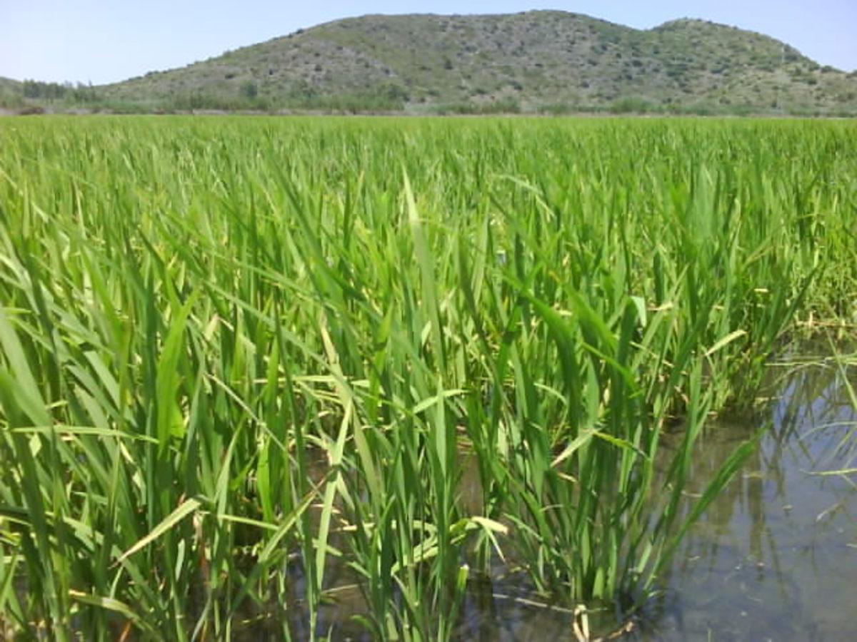 a Valencian paddy field