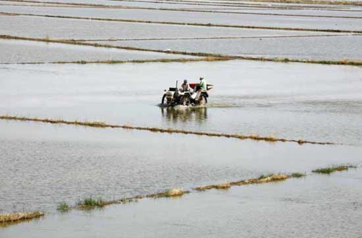 rice field in Sueca, Valencia