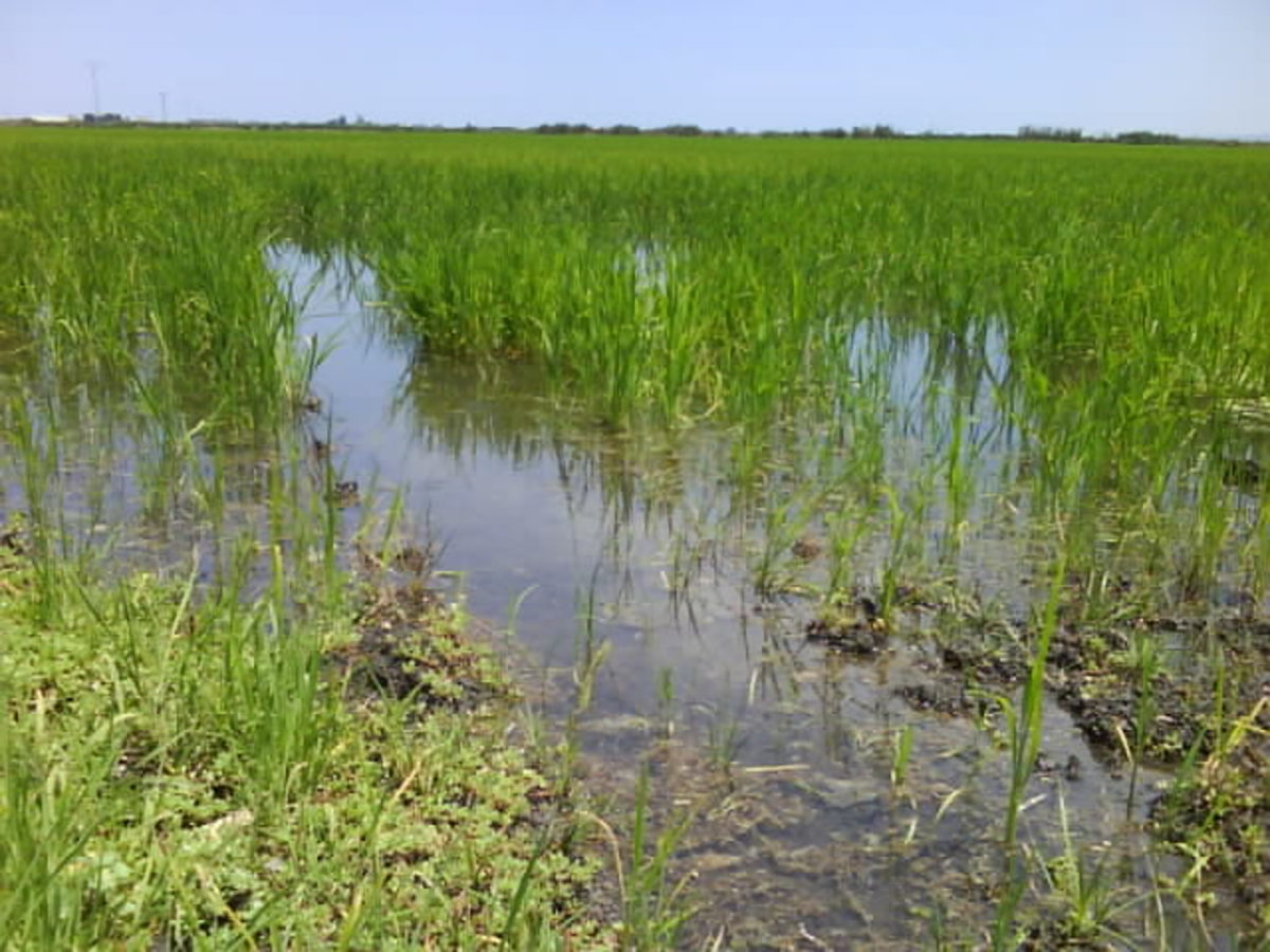 growing rice in Valencia
