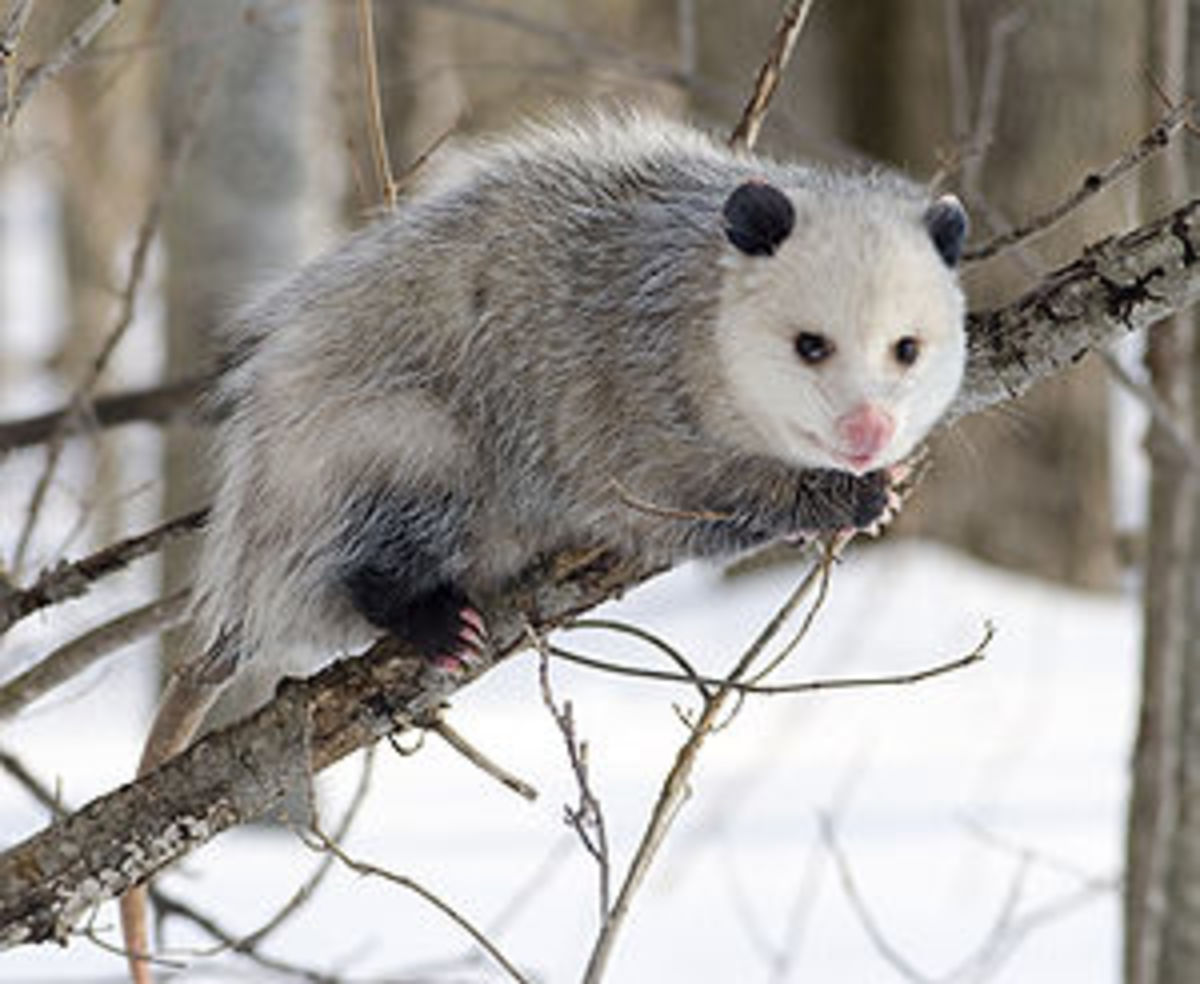 why-is-the-opossum-the-only-north-america-marsupial