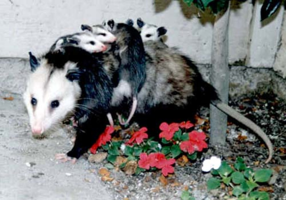 Virginia Opossum with babies on her back