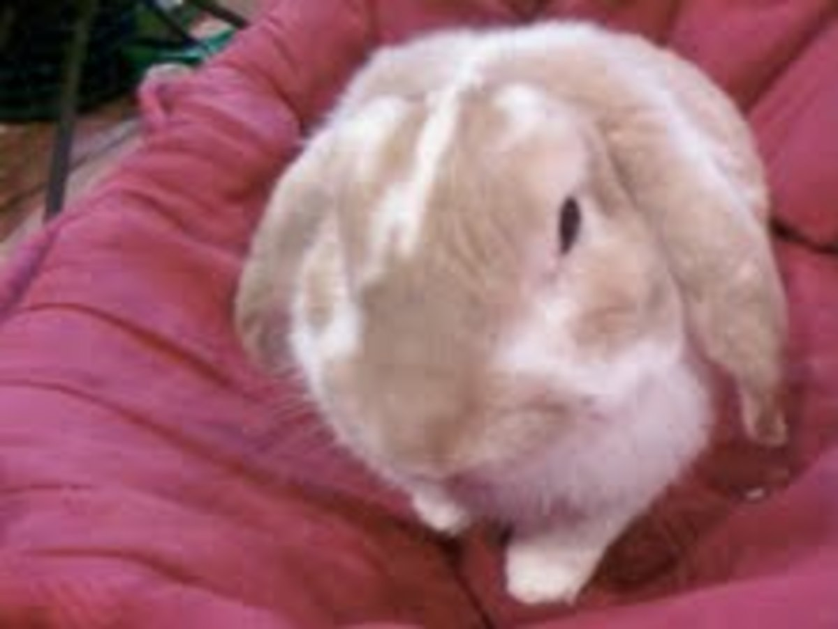Bunny Moments: Pleasures and Perils of Owning and Caring for a Rabbit