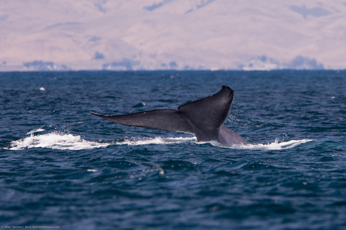 The Largest Whale in the World: Best Places to see Blue Whales in California, Canada and Beyond...
