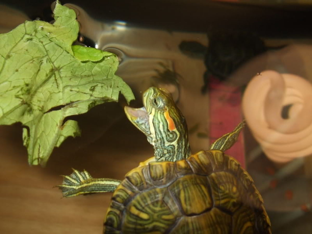 Red Eared Slider The Exotic Pet