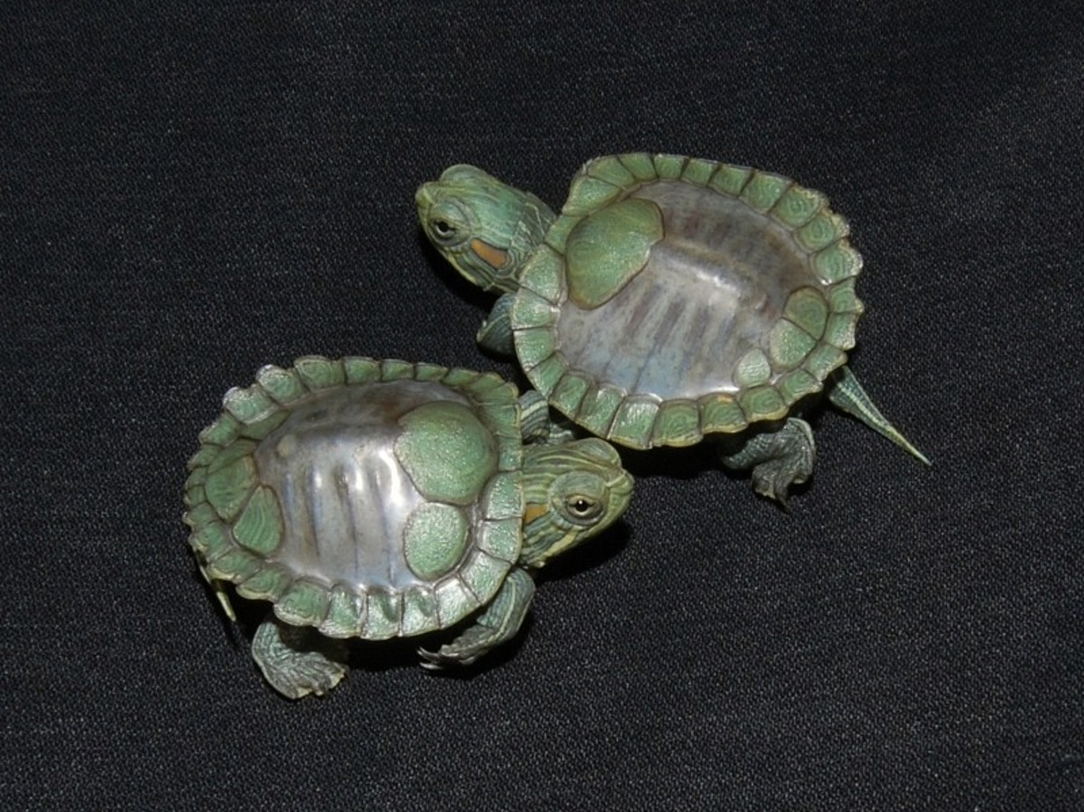Shell less red-eared slider