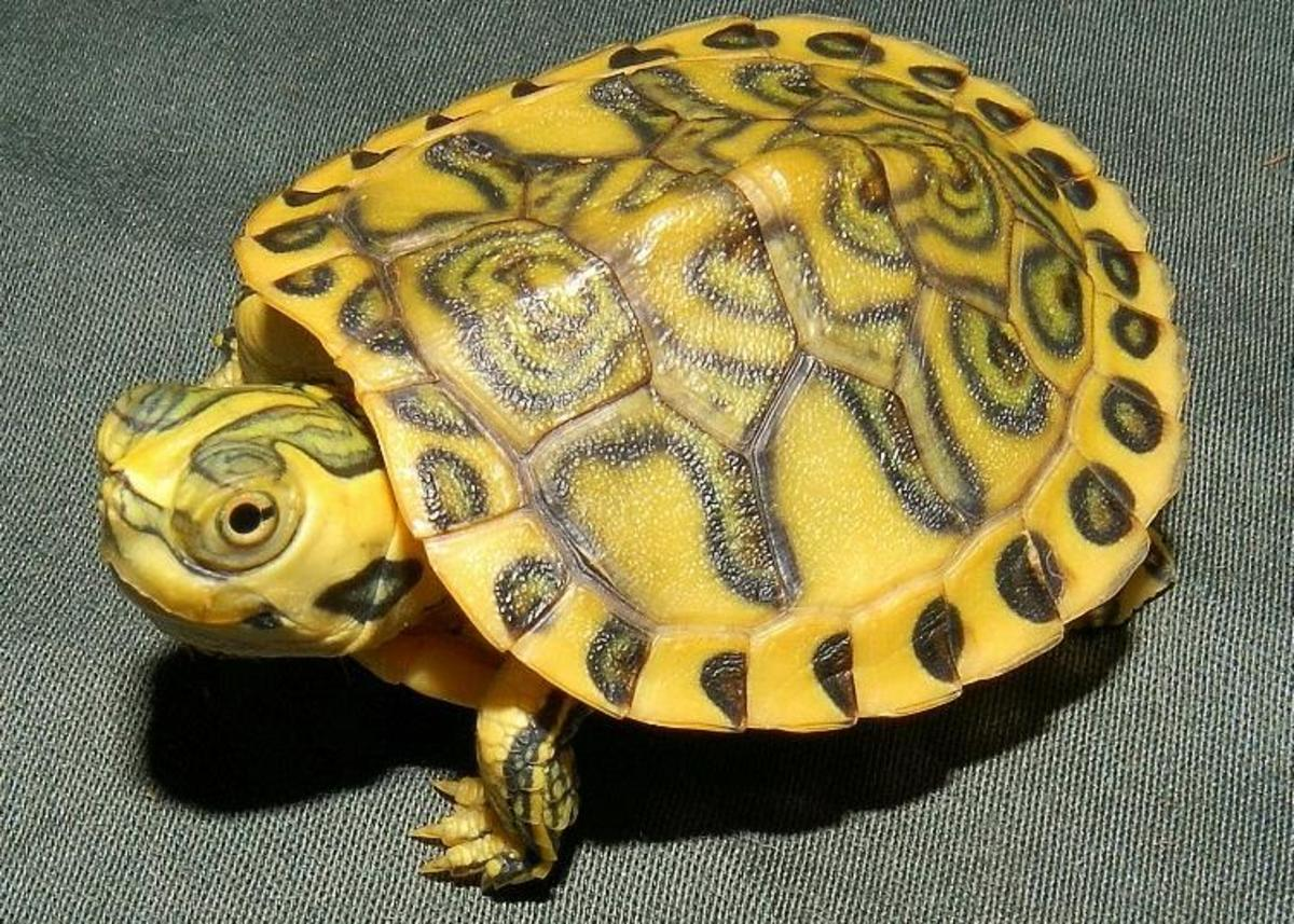 Hypo/pastel yellow bellied RES