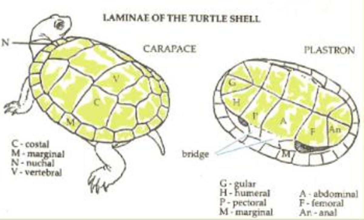 Description of red-eared sliders