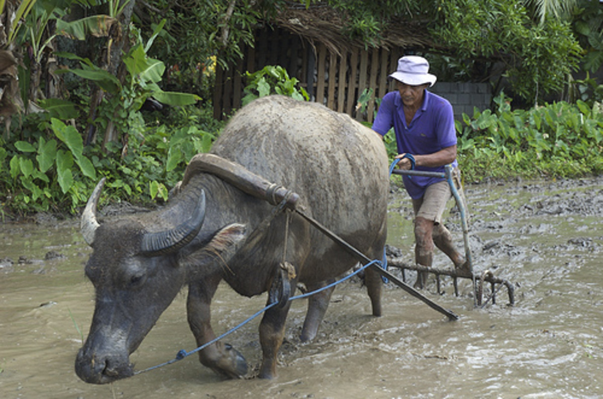 Uniquely Filipino, the Philippine water buffalo (carabao)