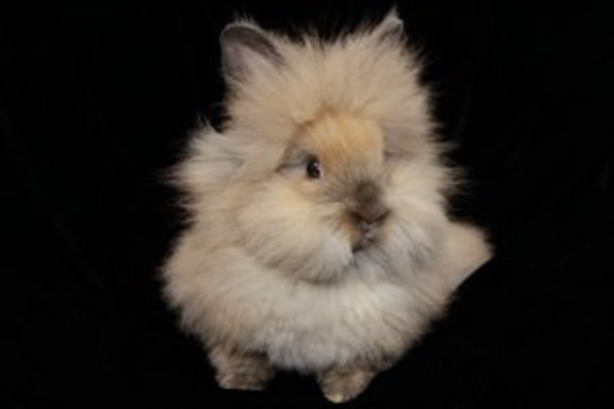petology-lionhead-bunny-rabbits-all-about-these-cute-and-unusual-bunnies