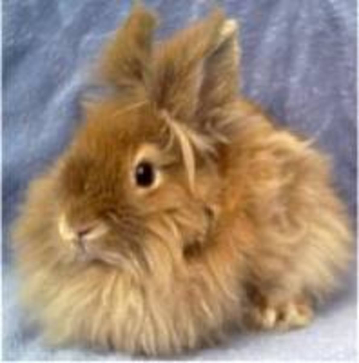 Lionhead Bunny Rabbits - All About these Cute and Unusual Bunnies