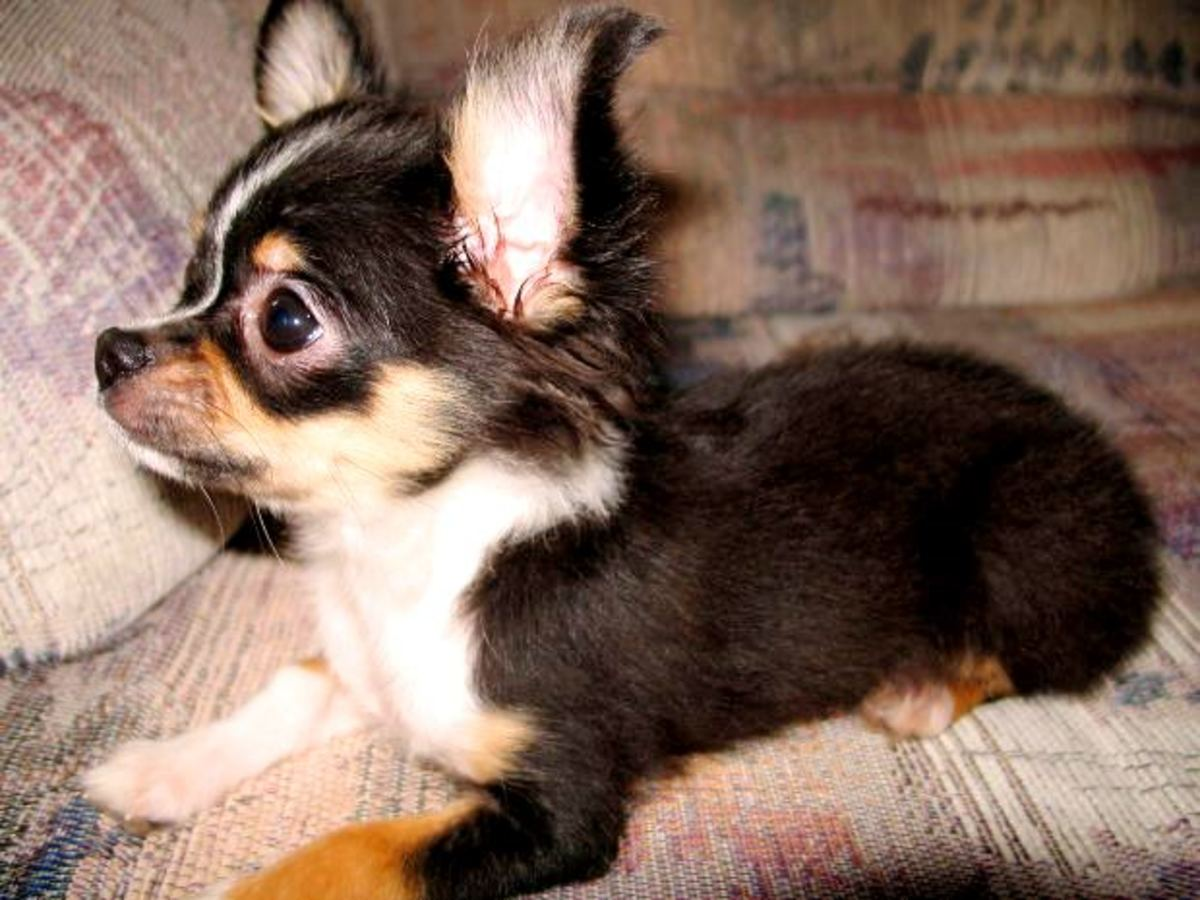 Chihuahuas May Be An Obvious Pick For The Top 10 Best Apartment Dogs, But  Chihuahuas Werenu0027t Put On This List Without Any Good Reasons.