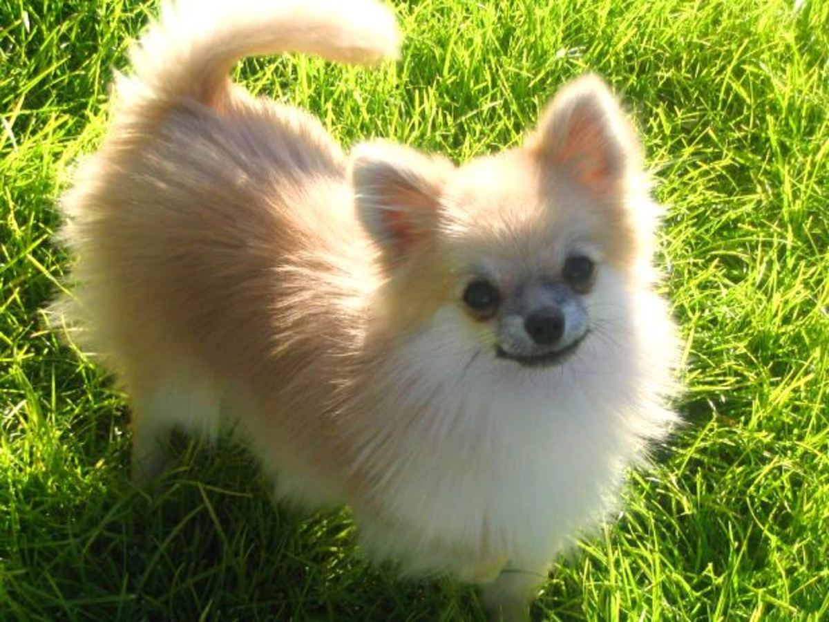 The Pomeranian Dog Photo