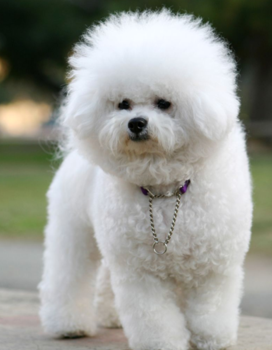 Not Only Are Bichon Frises Good Apartment Dogs, But Theyu0027re Also Incredibly  Sweet And Loving Too That Make A Great Dog Breeds For Women Too.