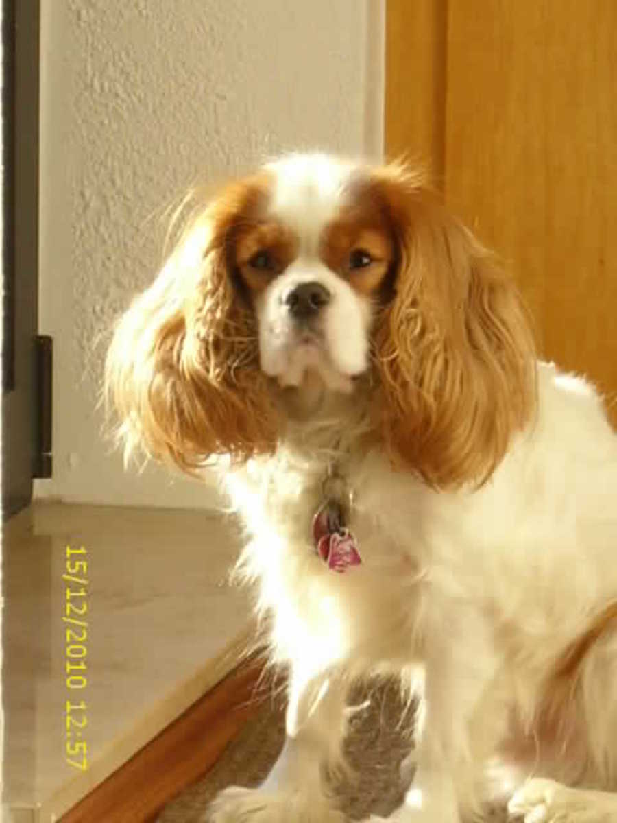 Angus, Our Cavalier King Charles Spaniel