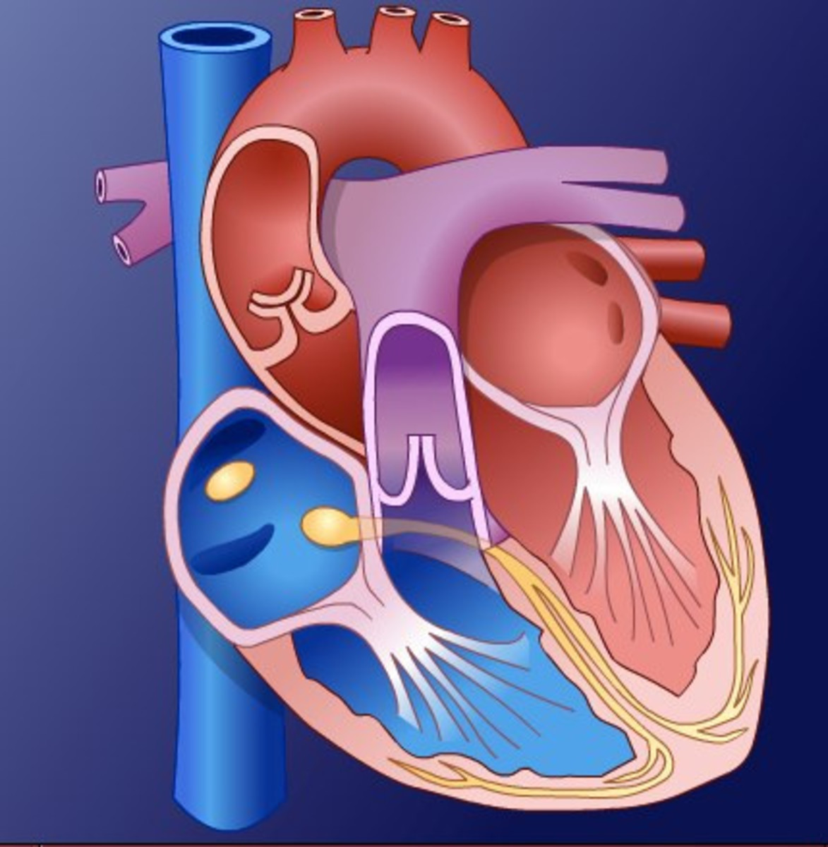 Easy Anatomy Understanding How The Human Heart Works Hubpages