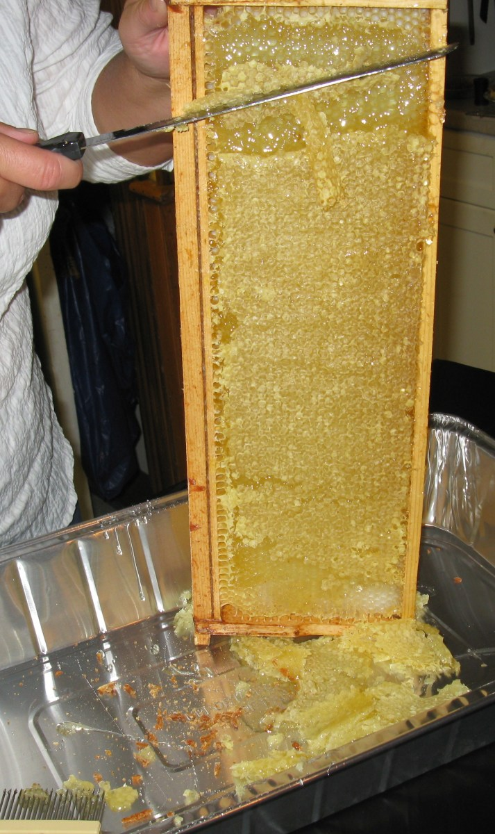 Sliding the wax cap off the cells to release the honey