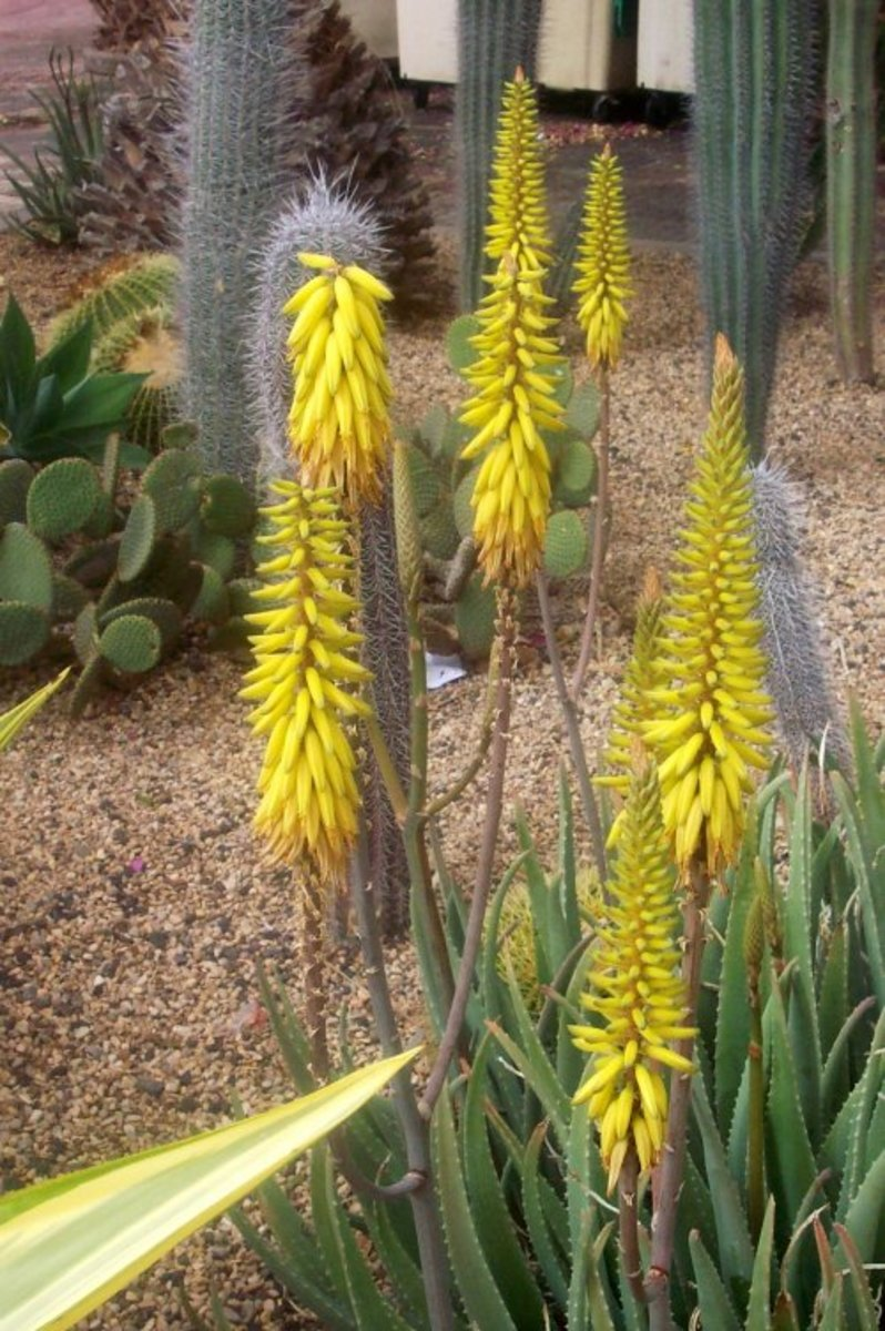 Tenerife herbs: Aloe vera is a succulent plant with medicinal properties
