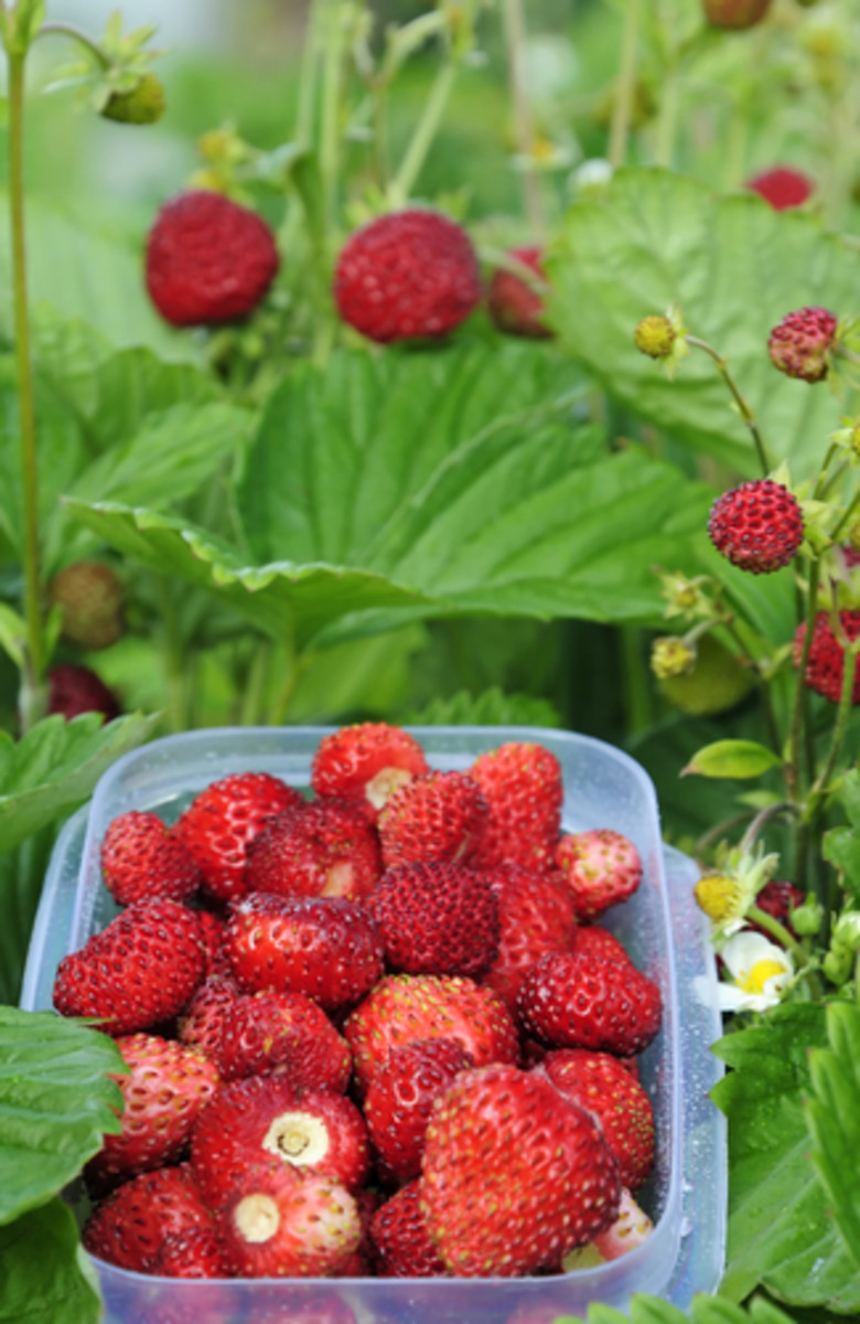 Wild strawberries being harvested. Image:  Peter1977 Shutterstock.com