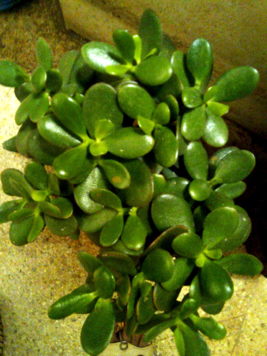 The jade plant Pics by Sofs