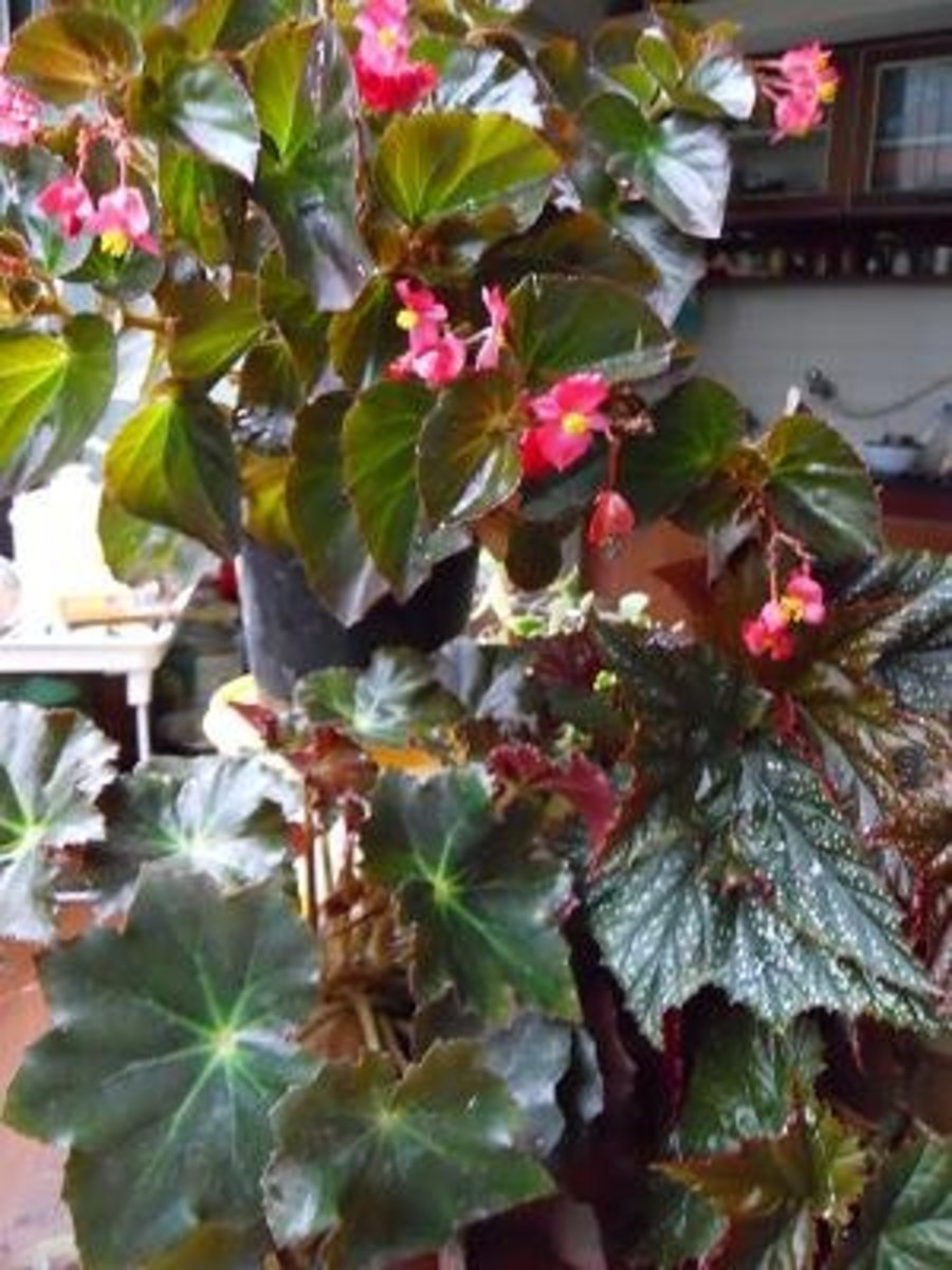 A collection of begonias Pics by Sofs