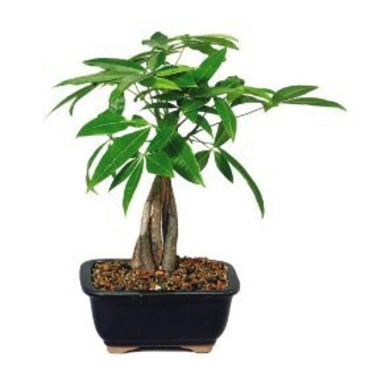 The Money tree plant