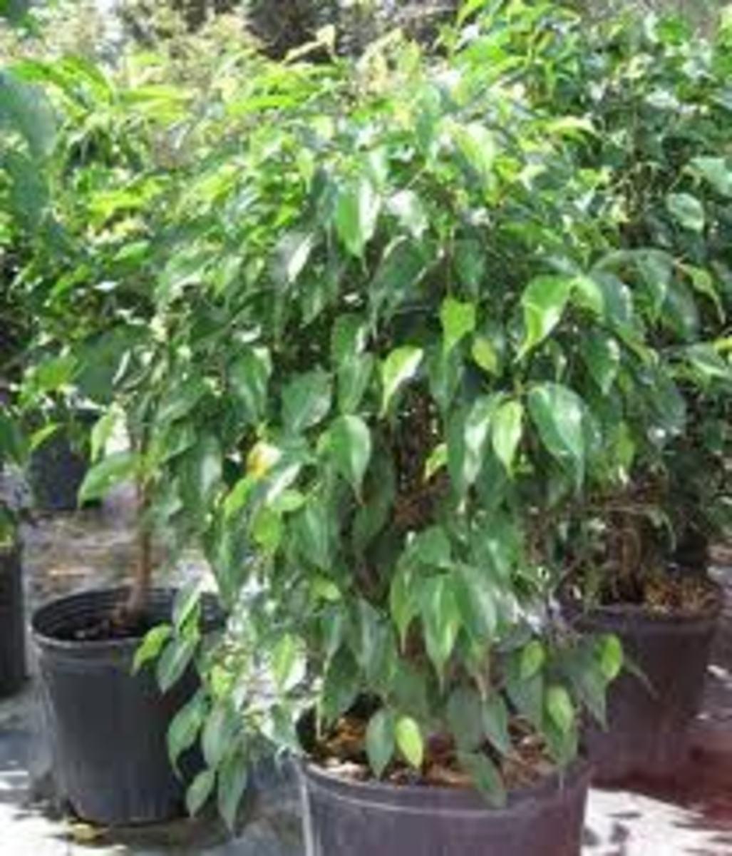 Ficus Benajamina