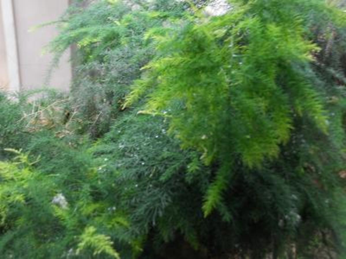 The Asparagus emerald fern  Pics by Sofs