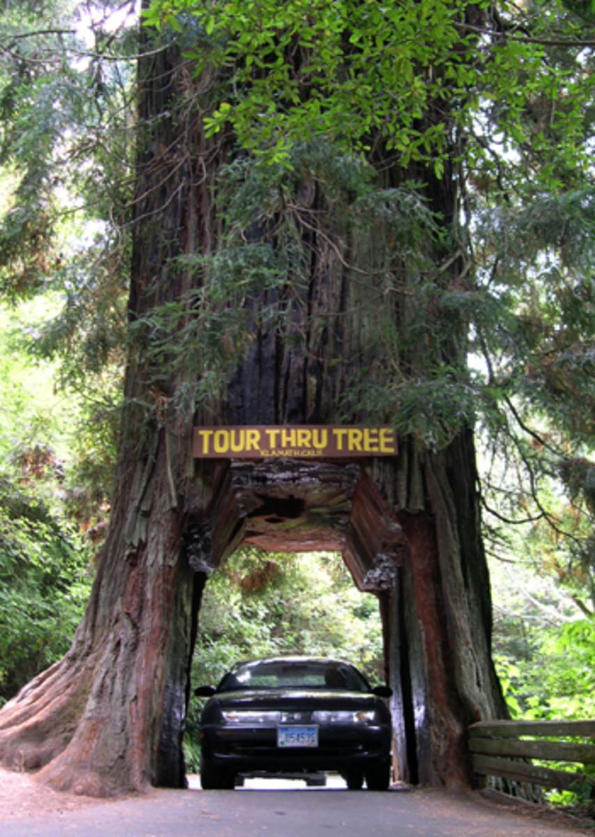 Rewood tree