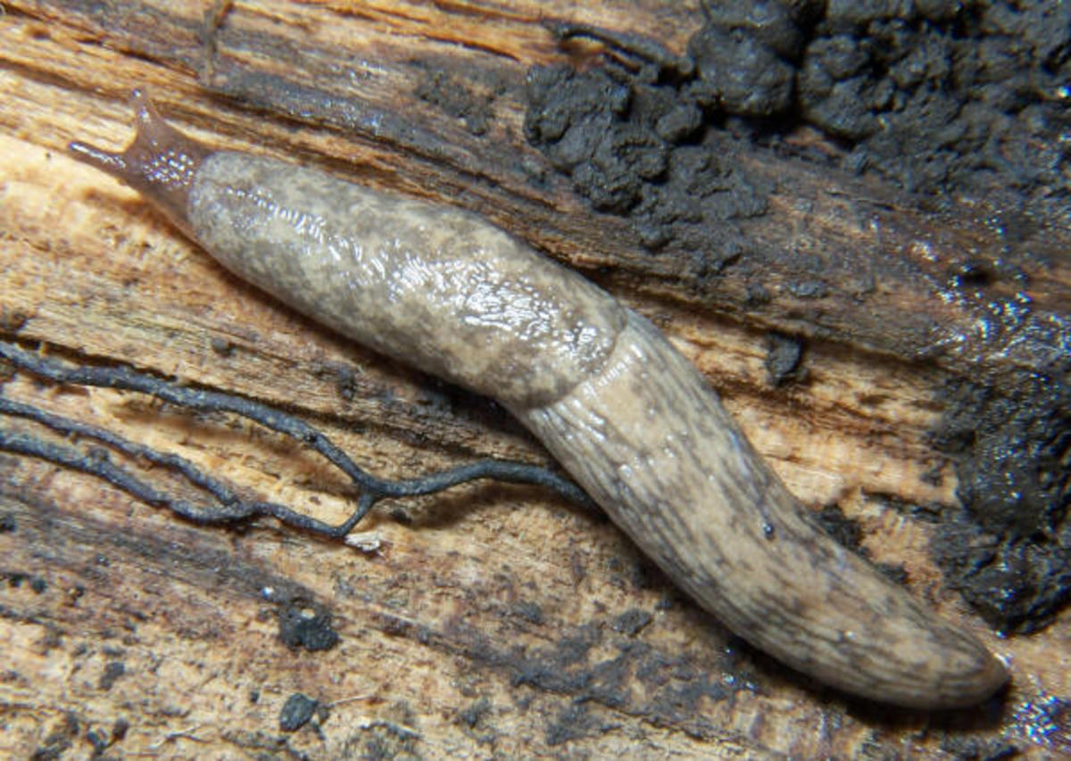 An adult garden slug