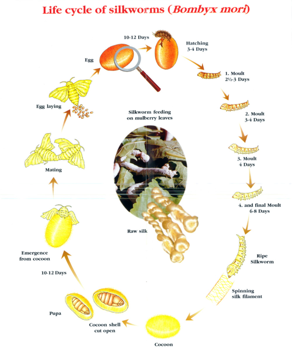 Life cycle of Bombyx Mori