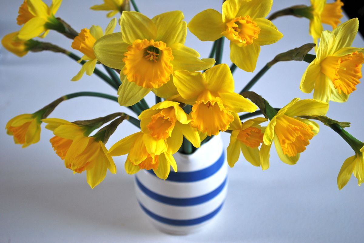 Read my tips for keeping your daffodils looking beautiful longer!