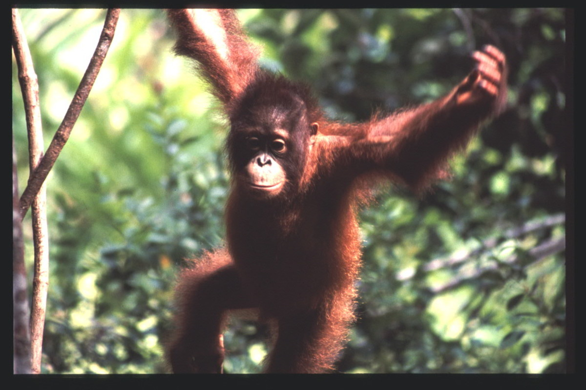 We hold a common ancestor with the orangutan, which uses bipedalism to access a wider range of branches in the tree tops.