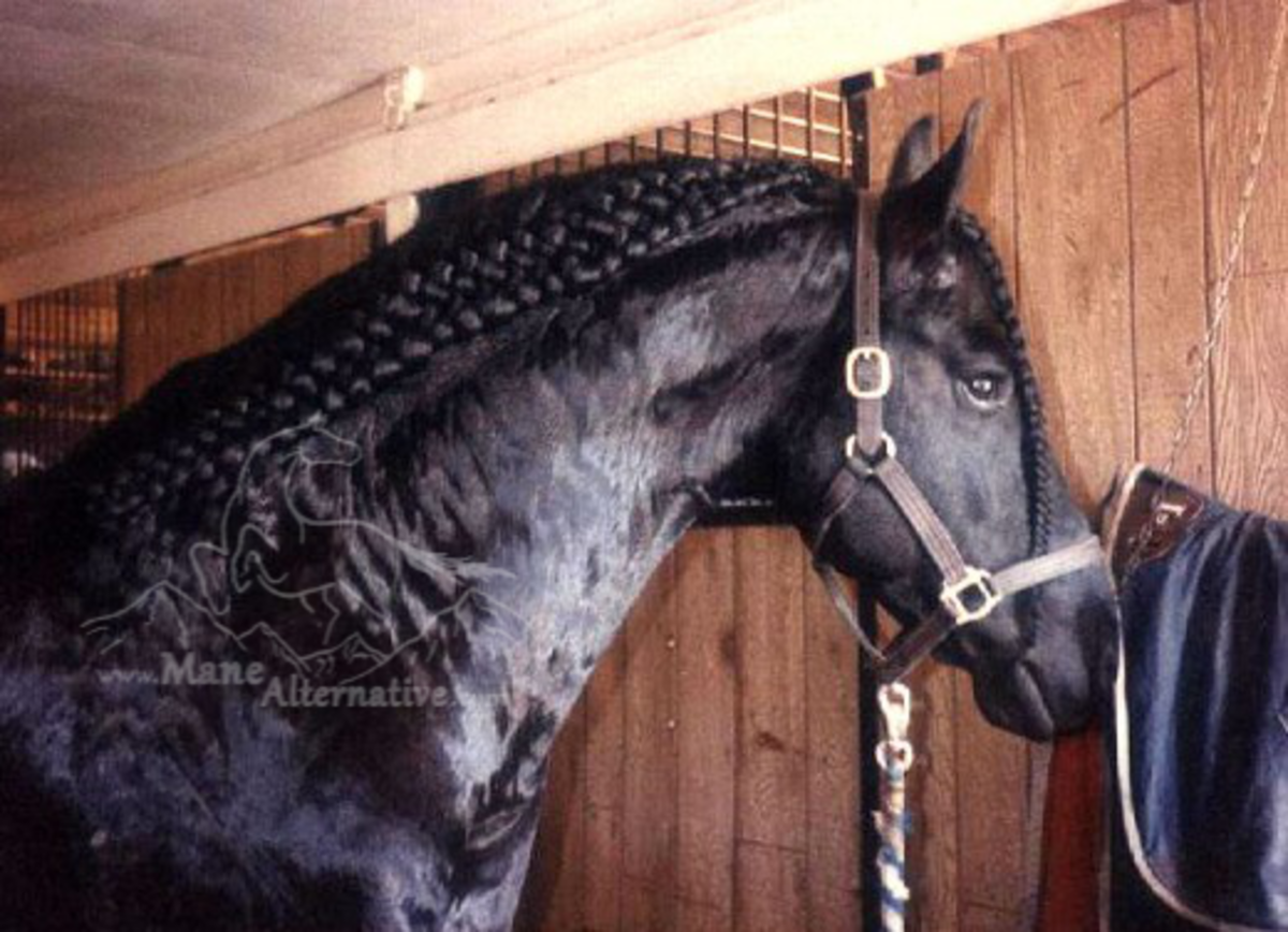 "Fresh from his bath, this lovely Friesian Stallion is ready to show with my ""Alternative Braid""."