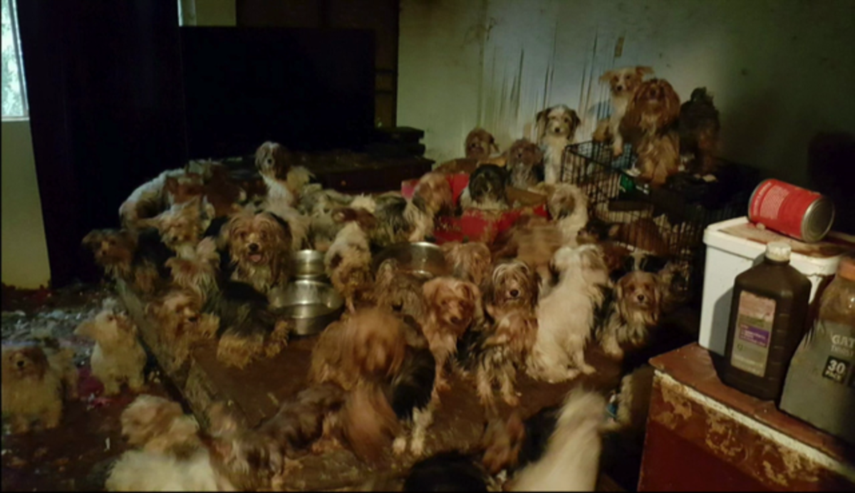 Poway couple pleads guilty to hoarding 170 Yorkies in their home