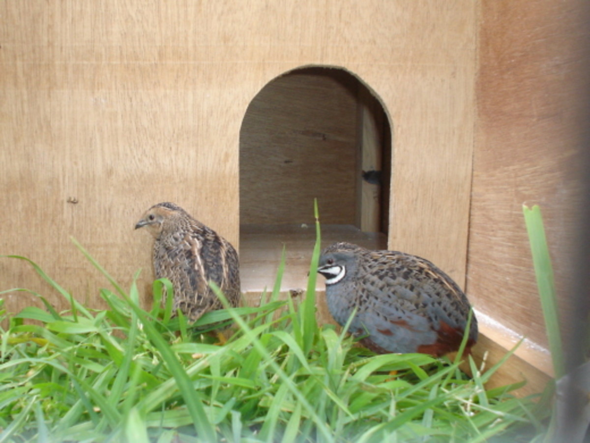 Chinese Quails - From the Diary of A King Quail
