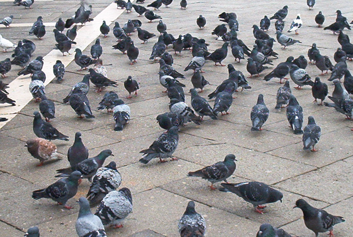 Pigeons searching for food in Venice's Piazza San Marco