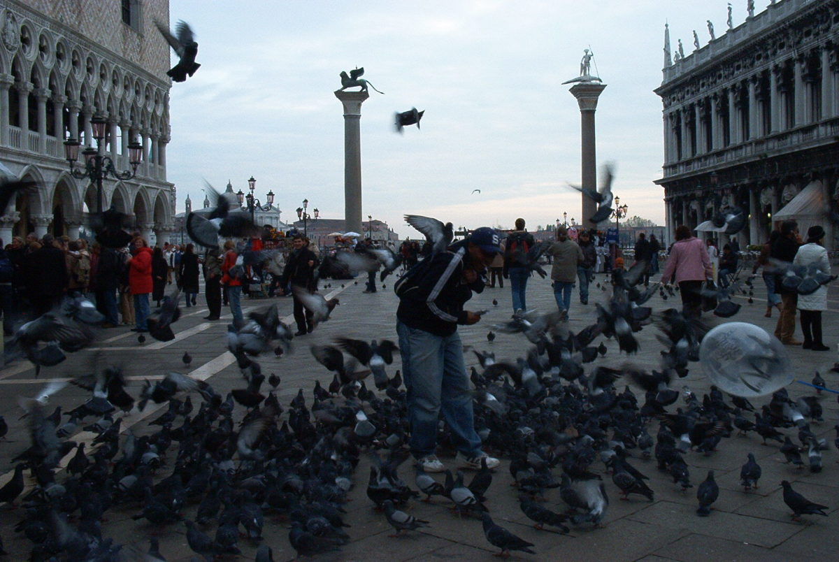 Pigeons finding food in Venice's Piazza San Marco