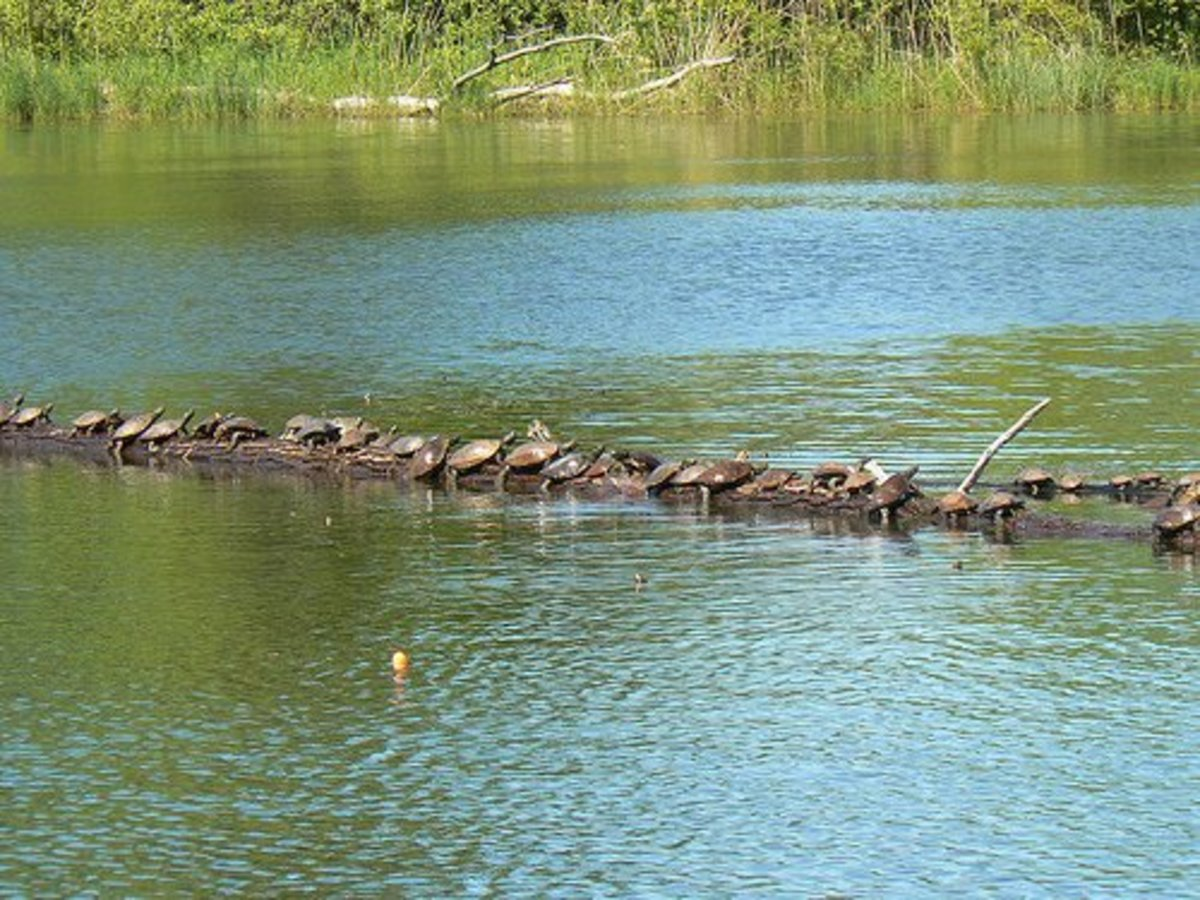 Turtles at Presque Isle