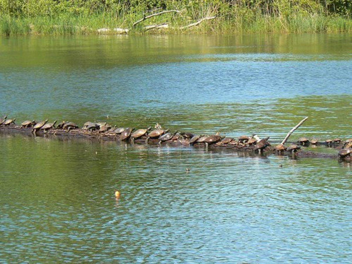 Turtles at Presque Isle