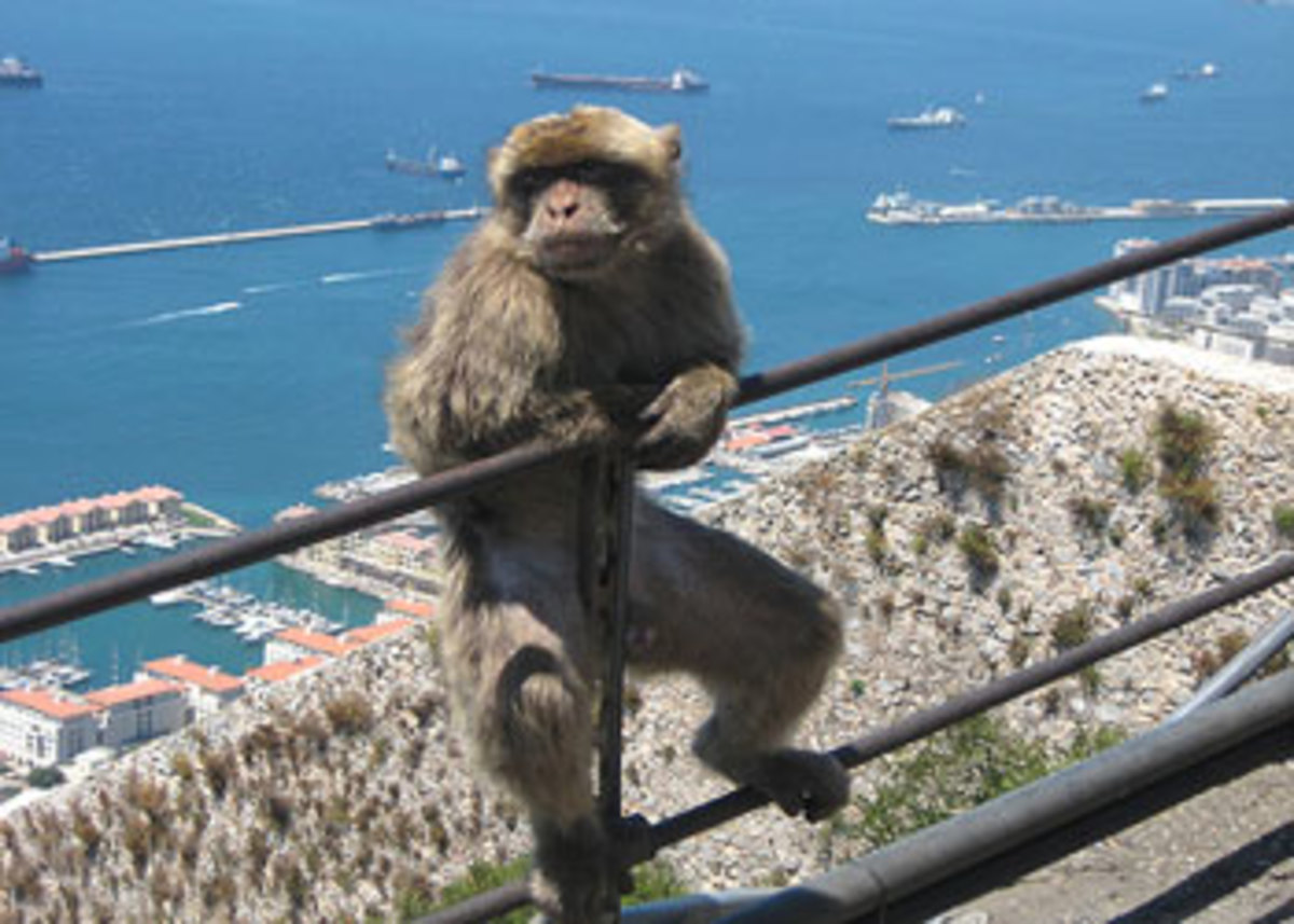 An ape from Gibraltar, which is a popular destination for cruises out of Palma.