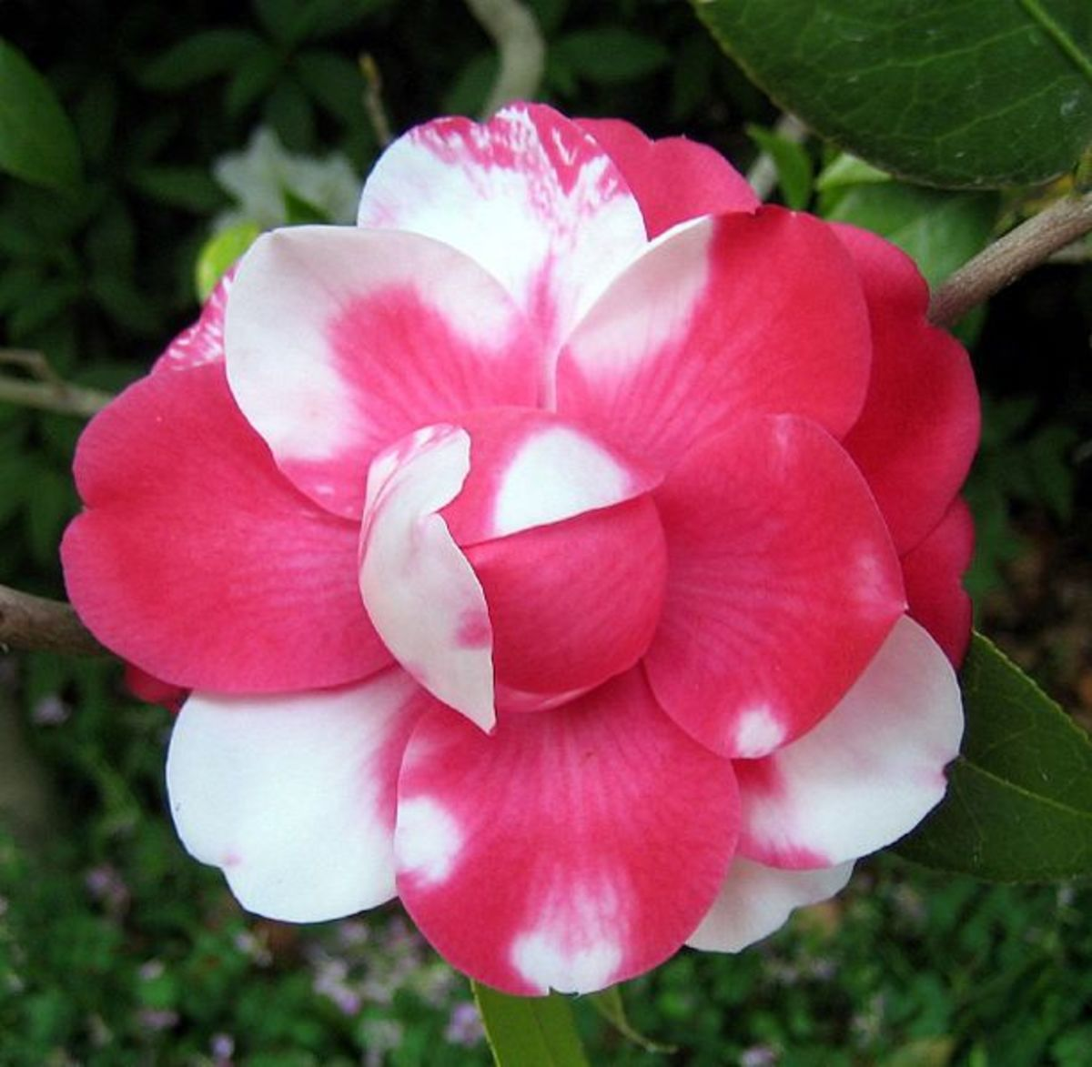 Codominance in a Camellia