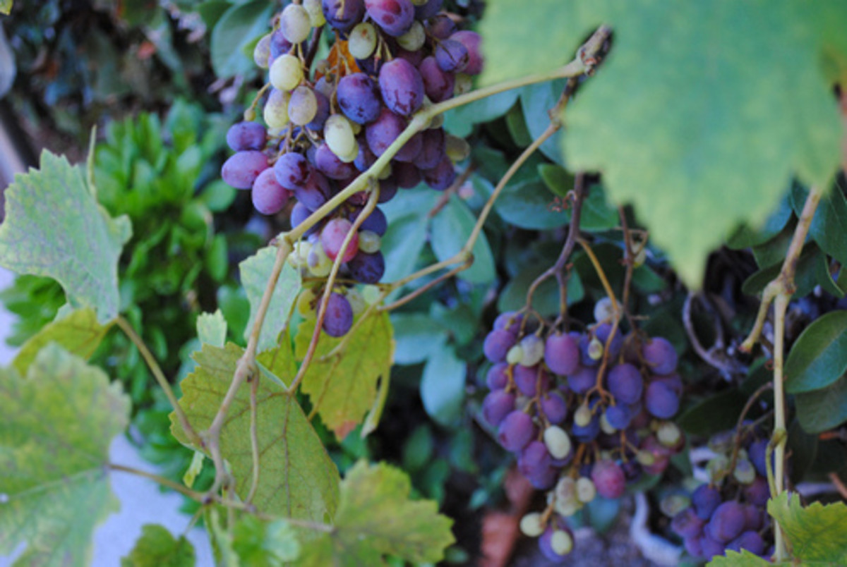 How to Make Grape Vinegar