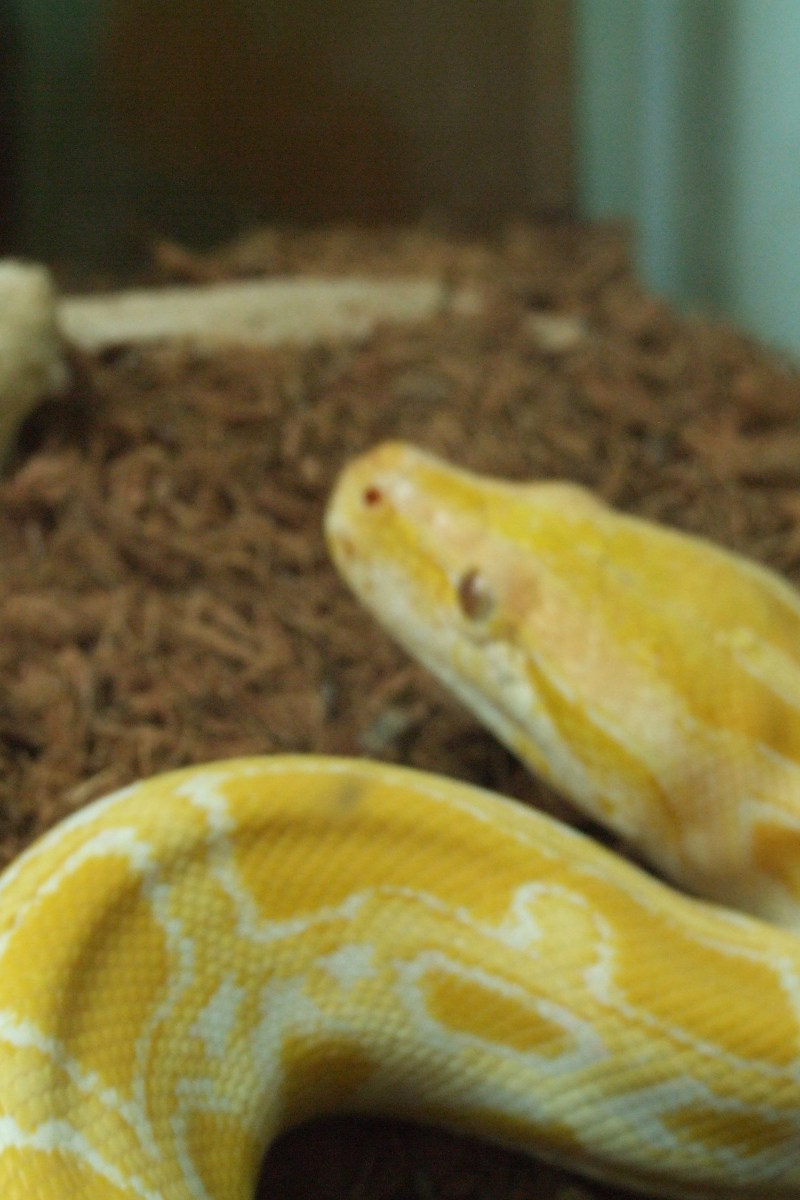 The Snake above is the Albino Burmese Python. You can buy this snake in most large pet shops but it grows into a very large dangerous snake. When the snake is grown one person alone should not try to take care of this snake.