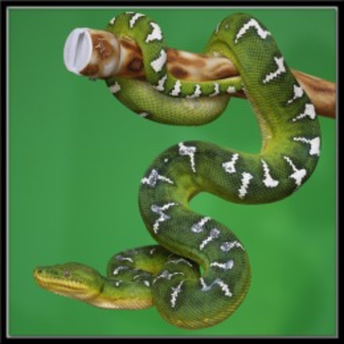 The Emerald Tree Boa is one of our top 10 most amazing snakes on earth. Its also one of the most beautiful snakes on earth.