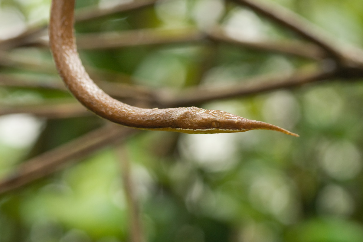 The Leaf Nosed Snake is truly one of the strangest most unusual snakes in the world today.