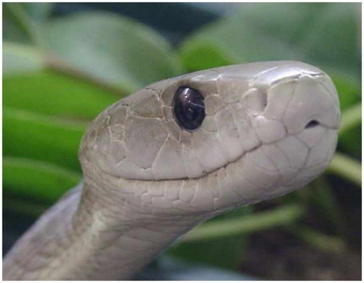 Beautiful Green Mamba Snake