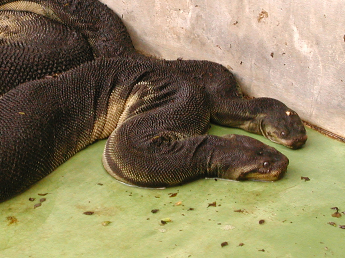 The Elephant Trunk Snake is one of the most unusual snakes in the world.